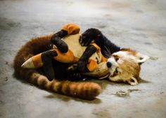 Red Pandas are the closest we'll ever get to Fire Ferrets #Pabu #TLOK #Korra