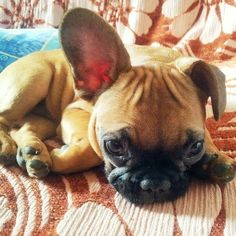 Adorable French Bulldog Puppy, via Batpig & Me Tumble It.