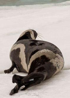 rare-four-stripes-ribbon-seal-spotted-7