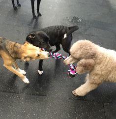 Tugging with Maizie, Jaxon and Denali #TugOfWar #DoggieDaycare #DogGames #WhenItsColdOutside