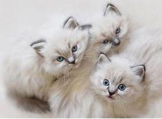 queenbee1924:  Gorgeous kitties!!! | Cute as a Kitten ♥♥