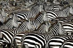 Zebralar (Masai Mara, Afrika)