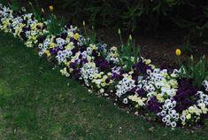 tulips-and-pansies.jpg