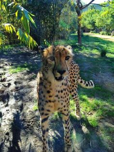 Say hello to Kasi, our beloved cheetah. Here is an update in photos on our blog.