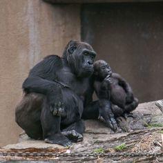 Gorilla with young one--