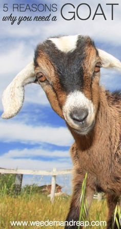 You need a goat. You NEED a goat. Read on to find out why!