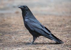 Common raven (Corvus corax) | Othello-Royal City (Washington); Madrid Barajas International Airport