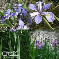 "SOUTHERN BLUEFLAG (Iris Virginica) 20+ seeds -Hardiness zones - 4 - 9 Height - 36-48"" (90-120 cm) Spread - 6-9"" (15-22 cm) Plant type - Perennial Exposure - Full Sun, Partial Sun Soil PH - Acidic, Neutral, Alkaline Soil type - Clay, Loam, Sand Water requirements - Very high moisture needs; suitable for bogs and water gardens Landscape uses - Water gardens, along streams or ponds or in low-lying areas that are subject to periodic flooding. May be grown in borders as long as soils are kept…"