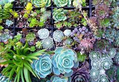 Drought tolerant succulents used vertically on green walls provide colour and texture