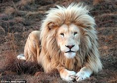The rare white lion (pictured) has attracted a large number of fans because of his mane...