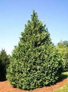 Rich's Foxwillow Pines Nursery, Inc. - Chamaecyparis nootkatensis – 'Glauca'Nootka False Cypress