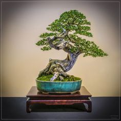 Great movement in the trunk, a stunning Bonsai tree by Jean Paul Polmans. #bonsai
