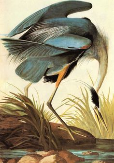 Great Blue Heron by John James Audubon, 1827