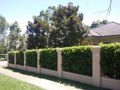 Viburnum hedge between rendered brick fence pillars