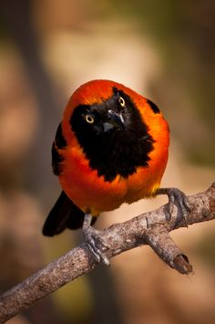 """Venezuelan Troupial (Icterus Icterus) And God said, """"Let the waters swarm with swarms of living creatures, and let birds fly above the earth across the expanse of the heavens."""" Genesis 1:20"""