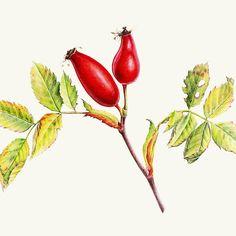Rosehips, Rosa canina fine art watercolor by www.sarahtrett.com #rosehip