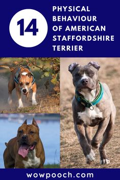 It's a real challenge to source reliable #American #Staffordshire #Terrier #dog #breed info. To fix this issue, we scoured the most trustworthy sources and distilled the data you need for a healthy and happy #pup. Is this breed kid-friendly? Are you #feeding your #pup too much? Too little? What about #exercise? These are all worries we have as loyal #pup-parents- and here are the answers so you can spend less time in panic and more time in play.