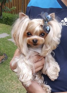 Cute Baby Dogs, Cute Baby Animals, Animals And Pets, Cute Puppies, Dogs And Puppies, Yorkies, Biewer Yorkie, Yorkie Puppy, Beautiful Dogs