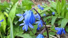 World Through my Photos: SIBERIAN SQUILL Wonderful Picture, My Photos, Places To Visit, World, Plants, Pictures, Photography, The World, Photos