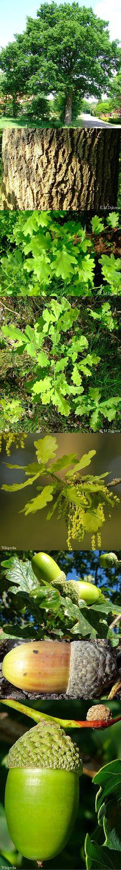 Zomereik - Quercus robur  hout: duurzaam gladde schors van jonge bomen: looistof