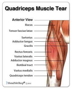 quadricep anatomy
