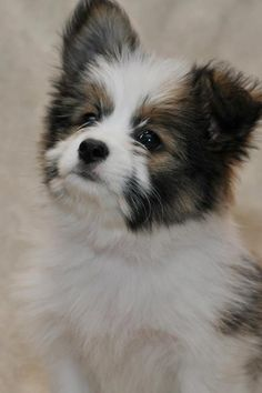 My new puppy Kody...he is such a lover.  He is a Shitz-pom-poo