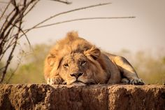 Lazy lion at Ruckomechi, Mana Pools - Zimbabwe