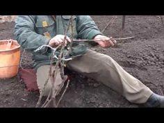Подвязка лоз винограда различных возрастов после весеннего открытия кустов. - YouTube