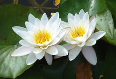 Water Lilies - White