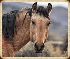 wild horse amber eyes dunfactor primitive dun markings carter reservoir wild horse