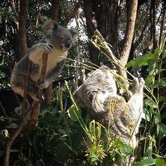 Koala koala koala aaawwah koala #koala#goldcoast#spring#currumbinwildlifesanctuary by sarah_milici http://ift.tt/1X9mXhV