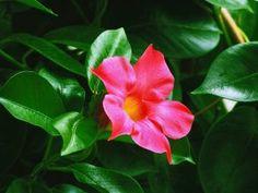 ¿Cómo cuidar la planta del dinero? - Amigos de la Jardinería Sempervivum, Pallets Garden, Margarita, Aloe Vera, Make It Yourself, Rose, Plants, Gardening, Gardens
