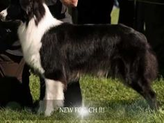 Aly, Australian Shepherd, 2 Years - Flyball, Agility, Disc Dog, Tricks and more.... - YouTube