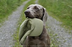 Apport – Such und Bring – Hundeerziehung online Woody, Labrador Retriever, Pitbulls, Bring It On, Dogs, Animals, Rally, Dance, Pooch Workout