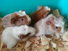 Baby guinea pigs - had 11 guinea pigs in my life.