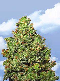 Flying Dutchmen Feminized Seeds - Edelweiss