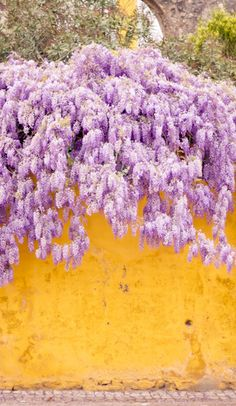 Wisteria made more appealing because of the yellow wall. Purple and yellow being complementary colors