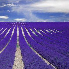 Fields of Lavender in France