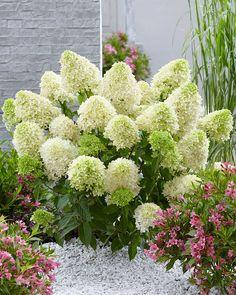 Climbing Hydrangea, Hydrangea Garden, Hydrangea Paniculata, Flower Garden Borders, Border Plants, Patio Planters, Skyfall, White Gardens, Back Gardens