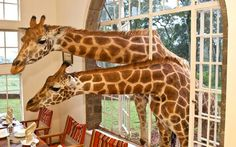 Hotel pets joining breakfast in Giraffe Manor Hotel in Nairobi