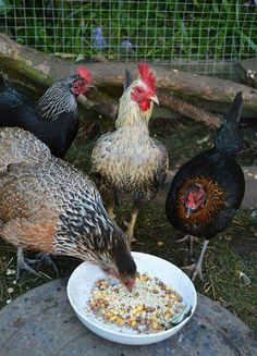 "how ""tof"" chickens dine..."