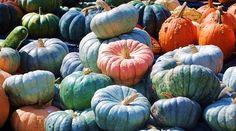 Heirloom Pumpkins - beautiful colors