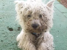 westie pox :-)  Just like a westie.  If there's something stinky or sticky, let's shove our face in it.