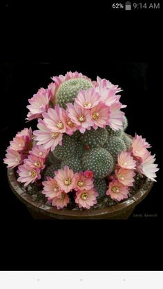 Mix color Succulent seeds cactus flower seeds garden bonsai plant rare flower cactus mini plant succulent to grow Flowering Succulents, Cacti And Succulents, Planting Succulents, Planting Flowers, Flower Plants, Blooming Plants, Cactus Planta, Cactus Y Suculentas, Mini Plants