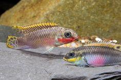 picture of Nigerian Red Kribensis P.Taeniatus Cichl. Reg                                                        Pelvicachromis taeniatus