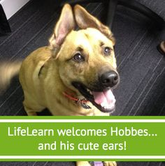 Hobbes came to work with Jennifer - his ears are all natural, and this is their default position!