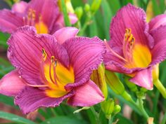 Hemerocallis 'Purple D'Oro' | Flickr - Photo Sharing!