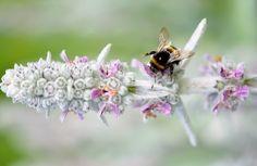 Új cikk: A varázslatos virágpor gyűjtése, http://kertinfo.hu/a-varazslatos-viragpor-gyujtese/, ezekben a témakörökben:  #Méhészet, írta: Szépzöld