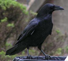 raven birds   Raven Relaxing by Kristen Gilbertson Olesen