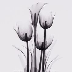 Art.com - Tulips and Arum Lily